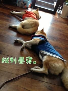 柴犬コタロー