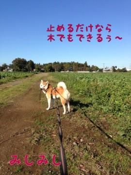 柴犬コタロー日記
